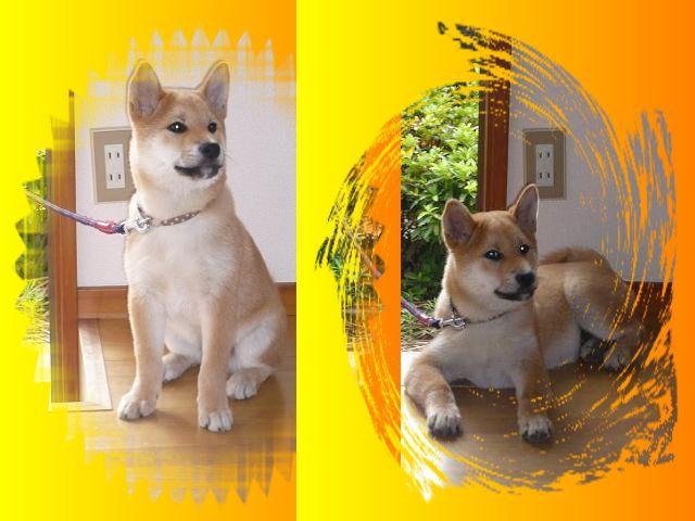 柴犬ラプラス号2012年7月12日
