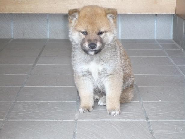 柴犬ラプラス号子犬時代