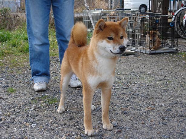 播磨の獅子号の父犬