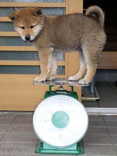 柴犬ラプラス号 体重3Kg超え