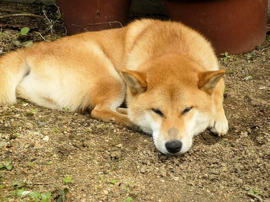 柴犬ラプラス号マズル治癒へ