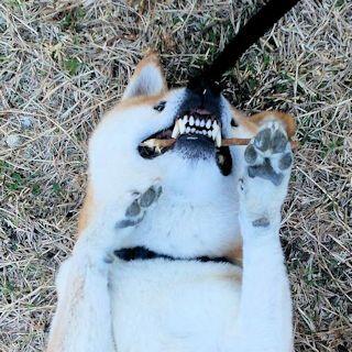 柴犬ラプラス君の歯
