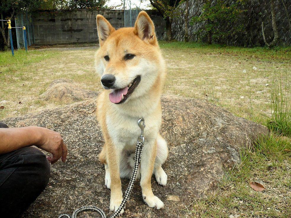 柴犬ラプラス号 ペットホテルからの散歩コース佳境 剣谷第5公園にて