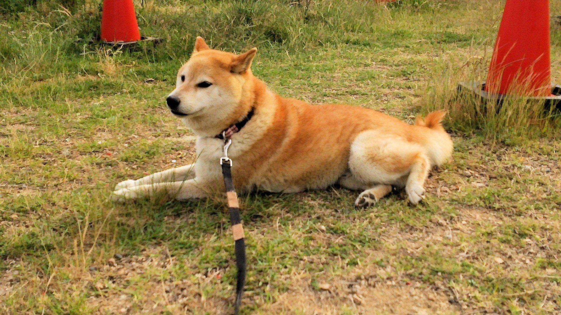 柴犬ラプラス号 風通しがよくて気持ちいいぜ~!