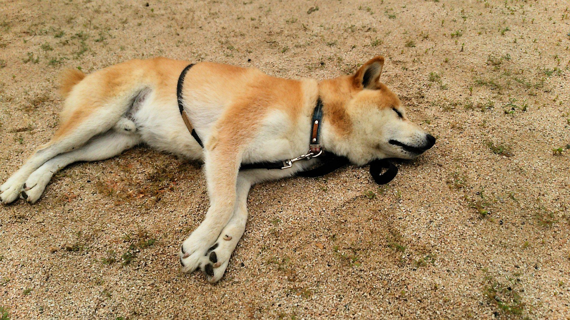 柴犬ラプラス号 散歩の途中に寝るんじゃねぇ!