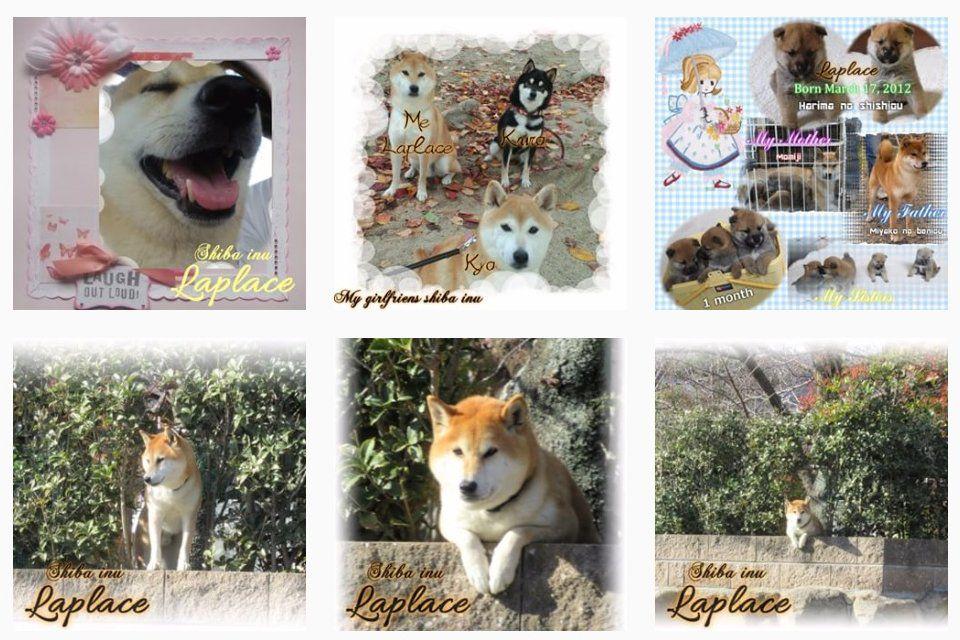 Instagram柴犬ラプラスの流儀