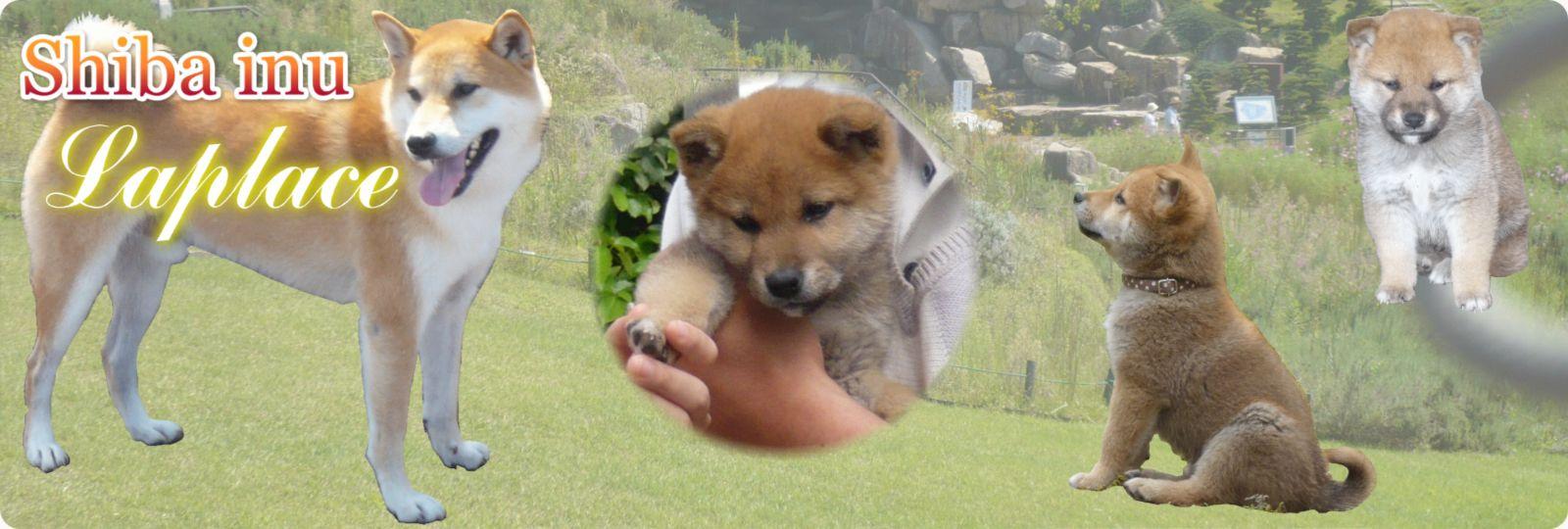 柴犬ラプラスの幸せ メイン画像
