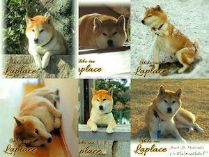 柴犬ラプラスの幸せ
