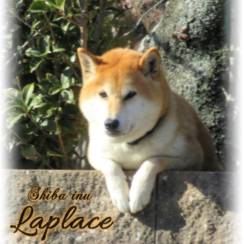 柴犬ラプラスのインスタグラム英語001