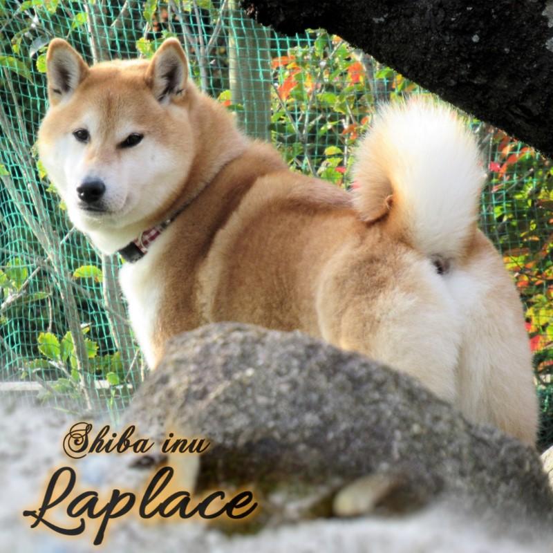 柴犬ラプラスのインスタグラム英語002