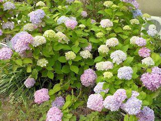 我が家裏庭の紫陽花